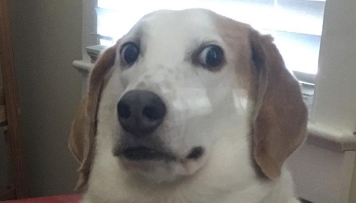 Tämä koira on lievästi hermostunut