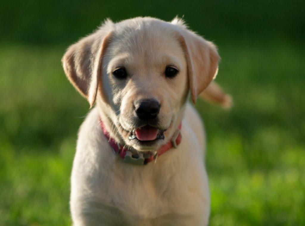 Labradorin noutaja pentu